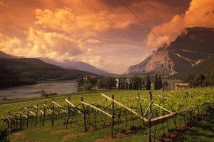 Ettari di vigneto Trentino